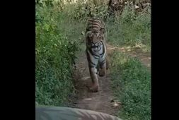 tigress-chase-tourist-in-maharashtras-tadoba-see-the-video