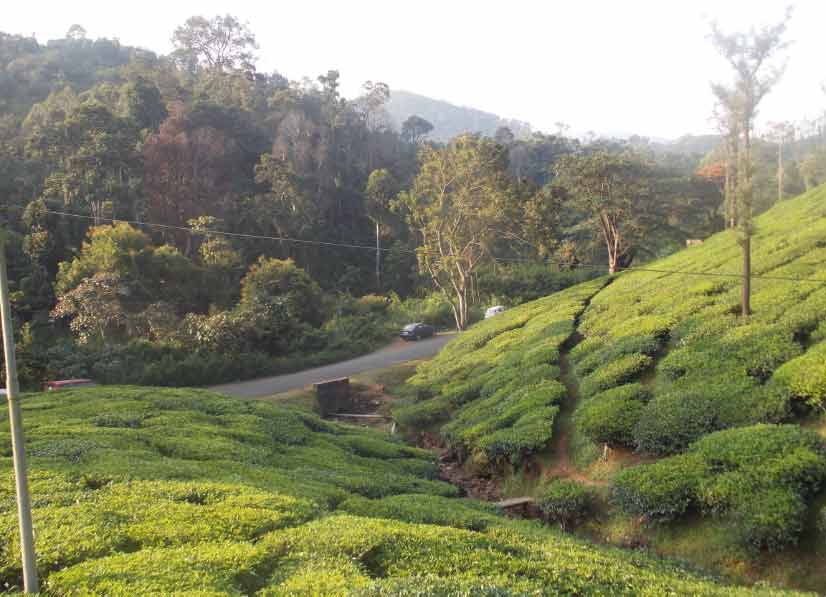 tea garden on way to kalasa
